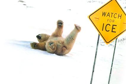 Urs polar pe gheata